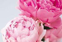 Sheer Beauty of Peonies / Die Pfingstrosen sind einer der schönsten Boten des Frühsommers. Ihr Duft aus Zitronen- und Honignoten zieht uns alle in ihren Bann. Opulente Blüten in Weiß, über Rosa bin hinzu Pink, ziehen alle Blicke auf sich! Jetzt mehr ansehen >>