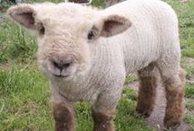 "Sheep / ""In order to be an immaculate member of a flock of sheep, one must above all be a sheep oneself."" -Albert Einstein"