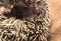 Mr Prick Templeton / Hedgehogs!