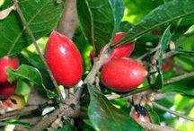 Miracle Fruit / http://www.lifegivingfoods.org/