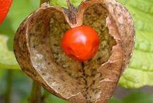 Physalis fruit / http://www.lifegivingfoods.org/