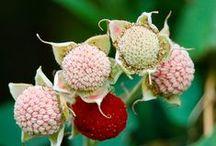 Rubus Parvifolorus / http://www.lifegivingfoods.org/