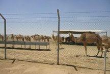 Experience 1 'Camel Reproduction Centre'  / Pins die betrekking hebben op een bezoek aan het Camel Reproduction Centre in Dubai. Hierbij draait het om pins die te maken hebben met kamelen, woestijnen en Dubai. #3MTT #NHTV