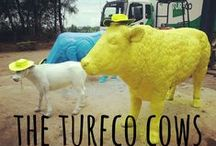 The Turfco Cows