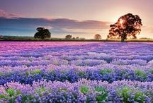 Lavender Love - Fields / Fields of Lavender I stroll through With thoughts of romance and love  Take me beyond this earthly place of daily stress and human woes Old world romance, here I am be so kind to come find me  Let me linger among the glory of peace and nostalgia  Alone with my mind wandering far to what once was or will be   Fields of lavender I stroll through and dare to dream .... Phyllis Doyle Burns