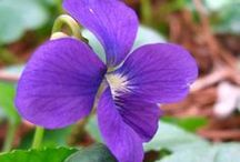 ⊰✿⊱ Wild Violets ⊰✿⊱ / A violet by a mossy stone half hidden from the eye!  Fair as a star, when only one is shining in the sky!  ~ William Wordsworth~