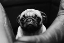 Pug Lovin' / Everyone needs a pug in their life. #PugLove