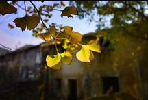 Hangzhou Gingko Tree Park / A series of nice pictures about the autumn gingko weaing the golden and yellow colors in Hangzhou Gingko Park