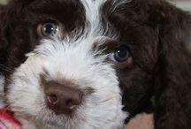 Onze Billy ❤van pup af aan. ❤ / Spaanse waterhond
