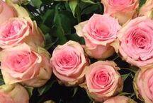 Blomsterliste rose / Det finnes ca. 200 arter av rosen og her har jeg noen av de. Rosen er en av de mest solgte blomstene. Her har jeg bilde av snittroser det er disse som blir mest brukt i dekorasjoner og buketter i blomsterbutikkene.  Alle roser symboliserer: Kjærlighet, livsglede, hemmelighet.