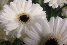 Blomsterliste gerbera og germini / Det finnes rundt ca. 30 arter av gerbera. Den blir også brukt i dekorasjoner og buketter men ikke så mye som roser og nellik. Gerberaen har en lang stilk og vis vi skal bruke greberaen er det lurt å ta en stål tråd rundt stilken oppe med hode på blomsten.