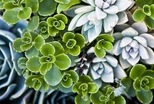 Succulents, / by Liz Ronning