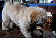 Foo Dogs:  Guardian Lions / Georgie our Shih Tzu reminds me of a Foo Dog, or a Guardian Lion.