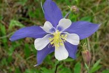 Colorado Rocky Mountain Wildflowers / Resources for Wildflowers in Colorado