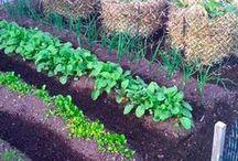 Warzywnik / warzywa, owoce, grządki, uprawa.