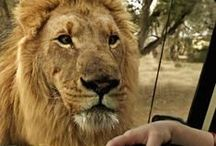Wildlife Travel / Awesome travel adventures including wildlife; safari experiences, birding, whale watching, dog sledding and more!