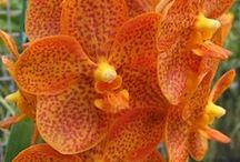 Orchids I want / A collection of the orchids i really want to add to my collection!