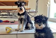 Puppy Love / All things miniature schnauzer. Mine's called Hank!