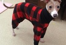 Italian Greyhound Clothes / www.duds4buds.com  creates limited designer fashions especially for your Italian Greyhound, Whippet, Galgo, Saluki, and Greyhound