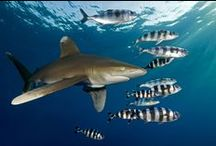 Chondrichtyes (Sharks, Skates, and Rays) / The cartilaginous fishes of the ocean  / by Eric Dilley