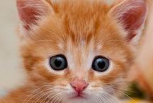 GINGER CATS . ITS A GINGE THING . / ITS A GINGE THING.