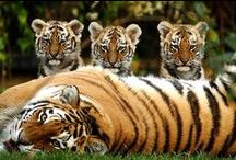 BIG CATS.