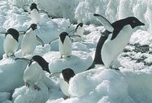 PENGUINS. / The world of Penguins.
