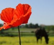 War Horses / In memory of horses whose lives were taken in human wars.