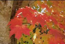 Sugar Maple or Rock Maple Trees Acer Saccharum / Come enjoy looking at wonderful Sugar Maple  and rock Maple Trees.  Both trees are of the Acer Saccharum  Maple tree species.