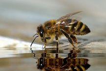 Bijen, Bees / Bijen Bees