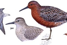 Ilustraciones Aves