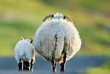 Sheep / Sheep