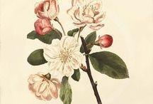 ancien/botanique