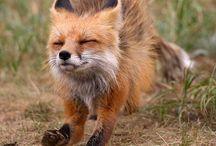 Foxes / Fox, foxes, photos, art