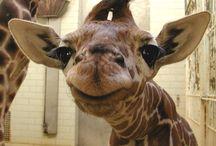Giraffes / Animals photos drawing giraffe
