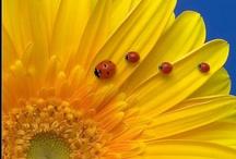 Ladybugs / by Sandra Raichel