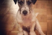 Dogs / Jack Russell terrier rough coat