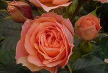 Elegant salmon pink
