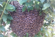 Honey Bee Swarms / Swarms setting off, clustering and moving into new hives