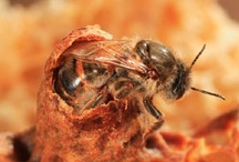 Honey Bees / General beekeeping and honey bee pictures