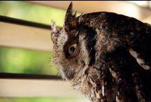 My Pictures ( Owl ) / Megascops Choliba Canon 7D