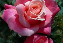 അ Romantic Rosesഅ / The elegance and beauty of the most romantic flower, THE ROSE.   For our NEW members, please look over Board first for inspiration as we are NOT YOUR ORDINARY ROSE BOARD!!   WELCOME!  (No small pics please--lets keep our board pretty and unique