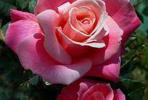 അ Romantic Rosesഅ / The elegance and beauty of the most romantic flower, THE ROSE.   For our NEW members, please look over Board first for inspiration as we are NOT YOUR ORDINARY ROSE BOARD!!   WELCOME!  (No small pics please--lets keep our board pretty and unique