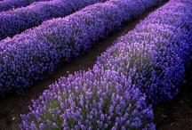 Purple Passion / by Dreamcatcher