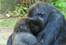 Gorilles à protéger
