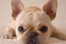 Frenchies / One day I will have a French Bulldog!
