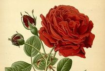 Nostalgic Botanical Beauty / Vintage botanical prints, illustrations, school charts, cards... and alike