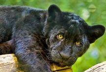 Félins - Big cats / Gros et petit félins