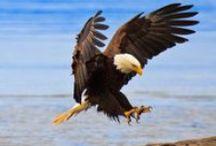 Eagles, Hawks & Owls