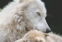albino&white animals ♛